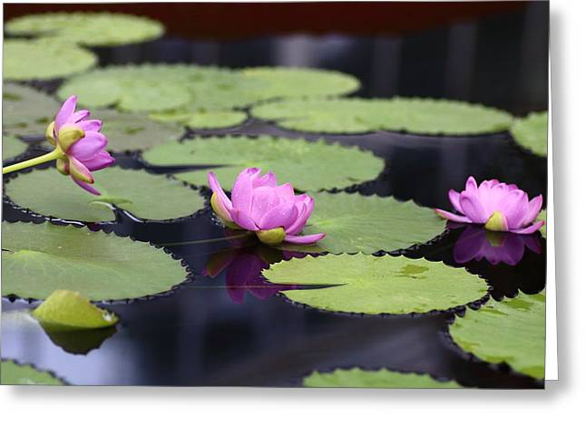 March Greeting Cards - Trio Sacred Lotuses Greeting Card by Rumyana Whitcher