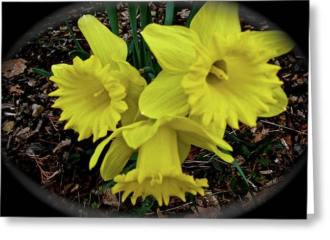 Triple Play Daffodils Greeting Card by Debra     Vatalaro