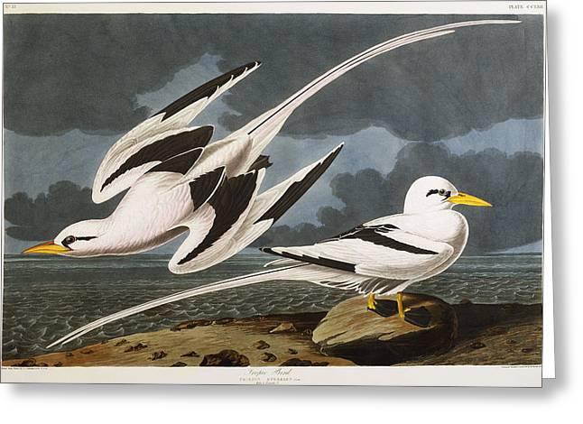 Aquatint Greeting Cards - Tropic Bird Greeting Card by John James Audubon