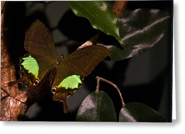 Buterfly Greeting Cards - Tropical Buterfly Greeting Card by Douglas Barnett
