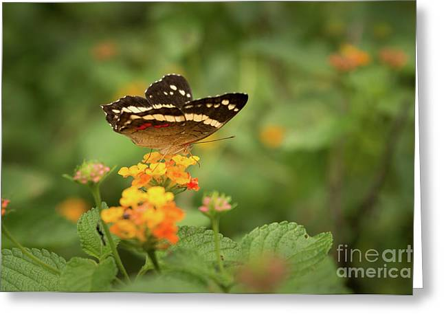 Tropical Butterfly Greeting Card by Ana V Ramirez