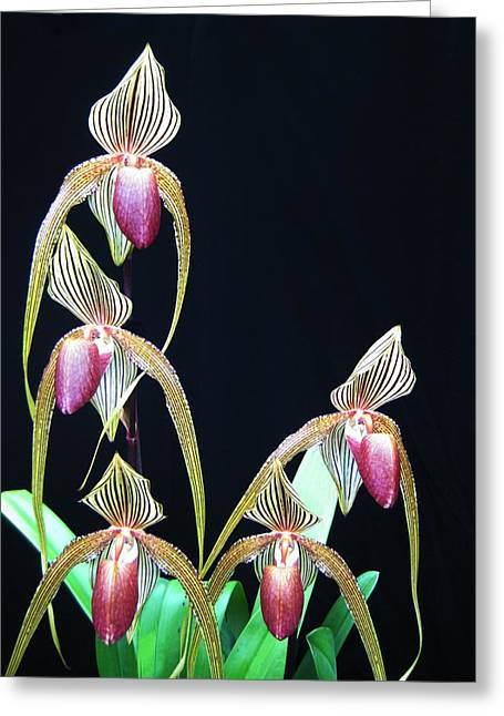 Colourful Greeting Cards - Tropical Lady Slipper 2 Greeting Card by Shirley Sirois