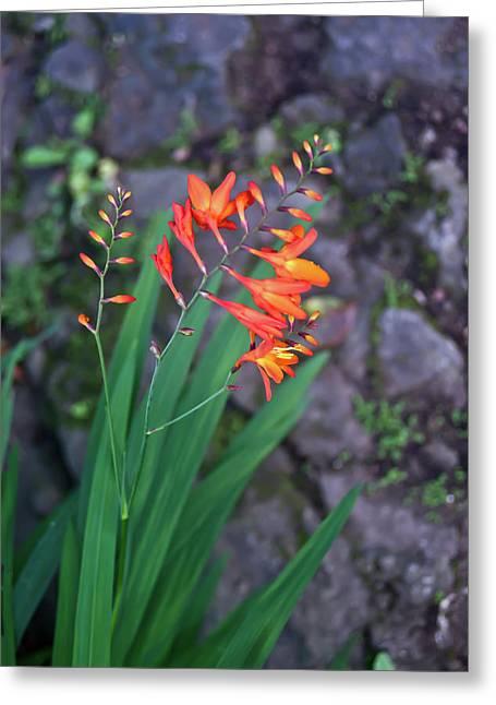 Festivities Greeting Cards - Tropical Orange Lily Greeting Card by Douglas Barnett