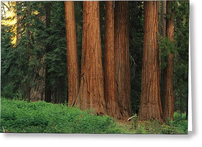 Woodland Views Greeting Cards - Trunks Of Giant Sequoia Trees Greeting Card by Phil Schermeister