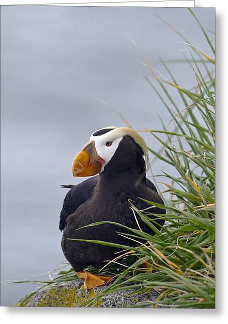Edge Of The Cliff Greeting Cards - Tufted Puffin  Fratercula Cirrhata Greeting Card by Gary Schultz