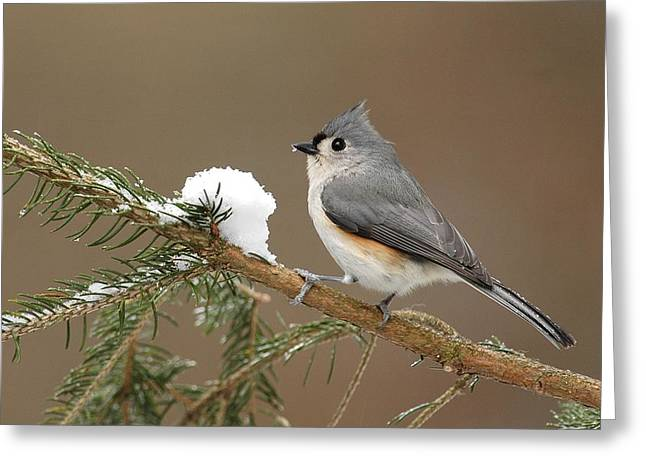 Tufted Titmouse Greeting Cards - Tufted Titmouse Greeting Card by Alan Lenk