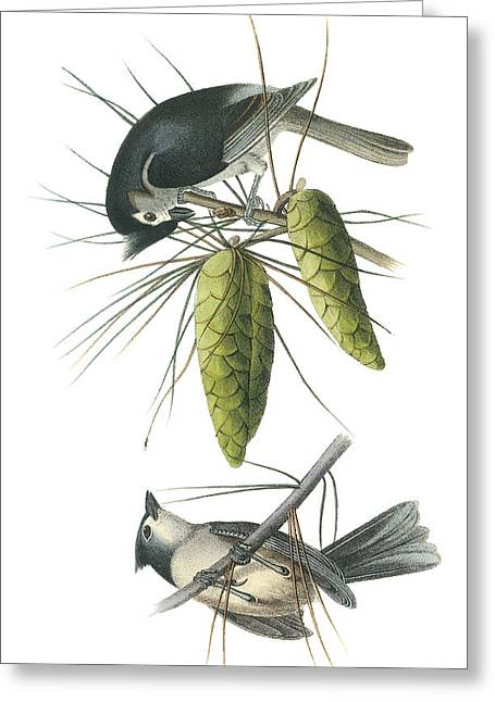 Tufted Titmouse Greeting Cards - Tufted Titmoust Greeting Card by John James Audubon