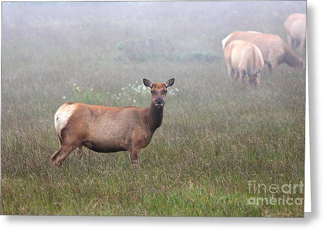 Tule Elks Greeting Cards - Tule Elk in fog Greeting Card by Wingsdomain Art and Photography
