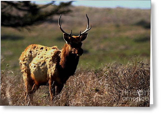 Tule Elks Greeting Cards - Tule Elk Greeting Card by Wingsdomain Art and Photography