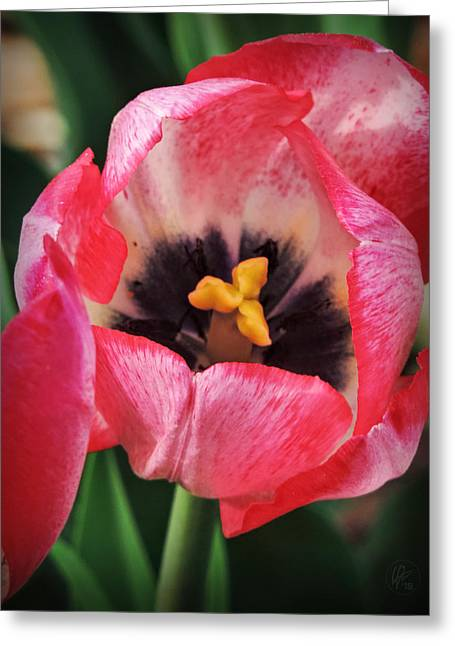 Reproductive Organs Greeting Cards - Tulip Macro 001 Greeting Card by Lance Vaughn