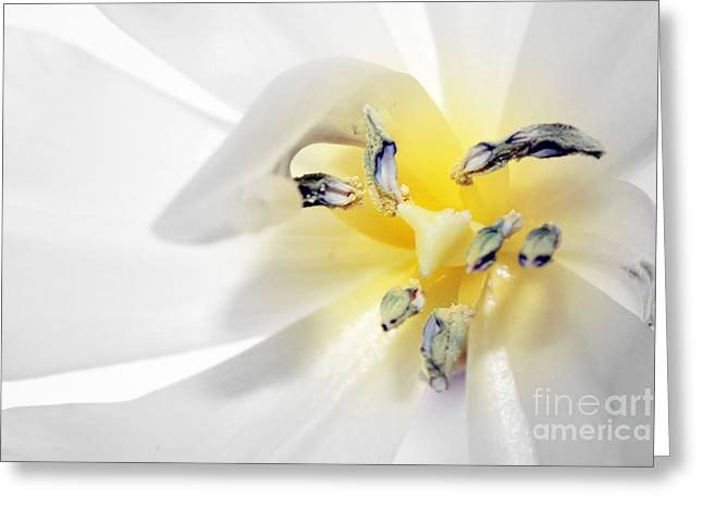 White Tulip Greeting Cards - Tulip macro Greeting Card by SK Pfphotography