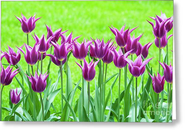 Tulip Maytime Greeting Card by Tim Gainey