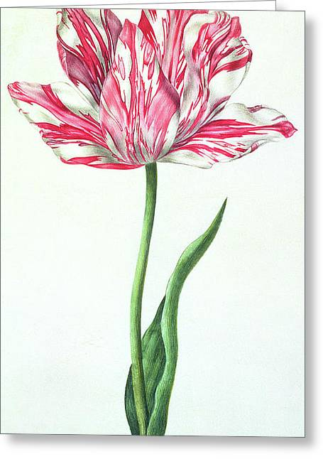 Tulip Greeting Card by Nicolas Robert