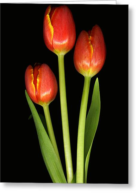 Tulip Trio Revisted Greeting Card by Deborah J Humphries