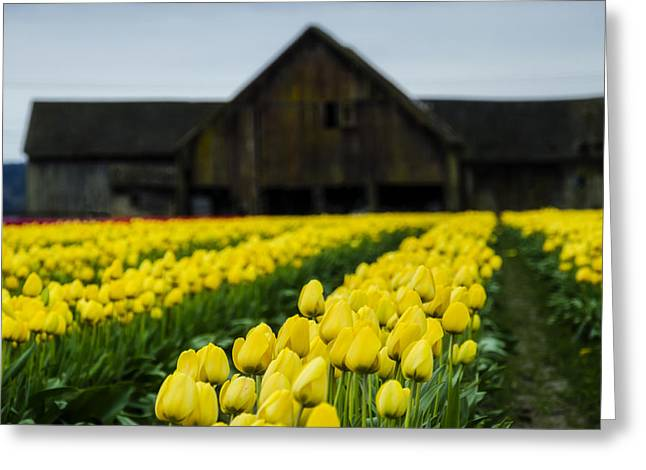 Tulips And A Barn Greeting Card by Pelo Blanco Photo
