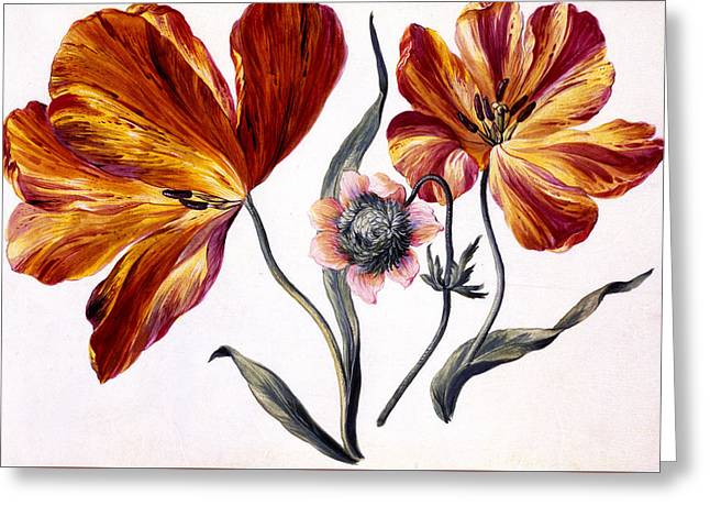Anenome Greeting Cards - Tulips and Anenome Greeting Card by Claude Aubriet