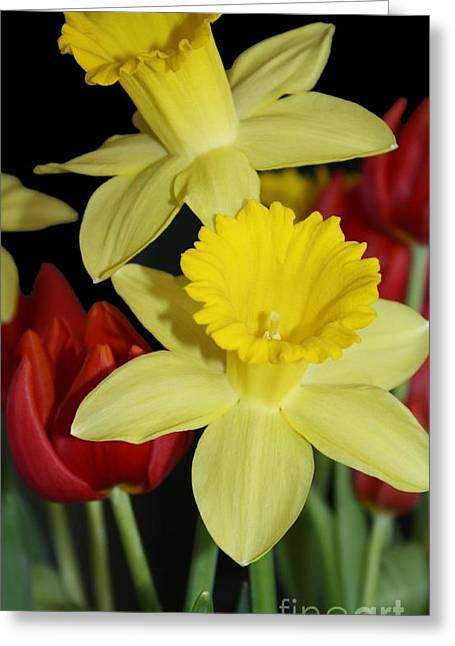 Bulb Flower Greeting Cards - Tulips and Daffodils Greeting Card by Marjorie Imbeau