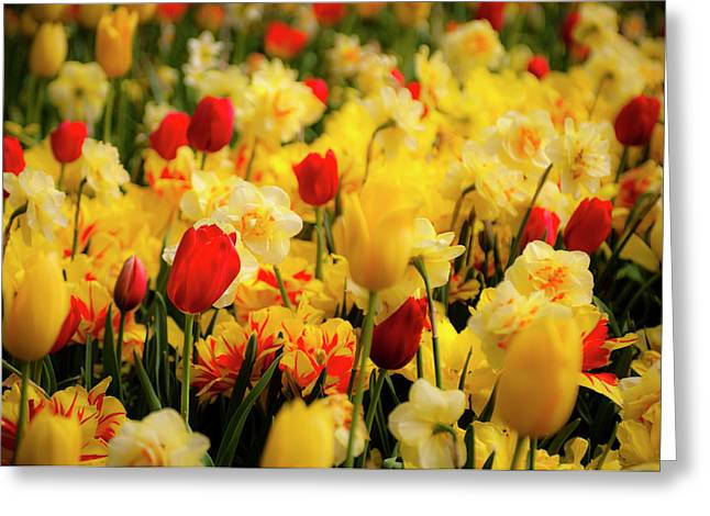 Tamyra Ayles Greeting Cards - Tulips and Daffodils Greeting Card by Tamyra Ayles