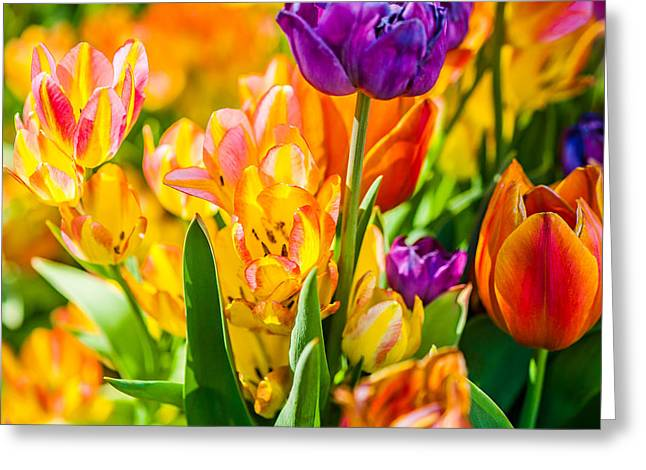Apparel Greeting Cards - Tulips Enchanting 01 Greeting Card by Alexander Senin