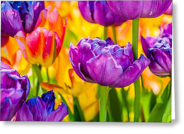Apparel Greeting Cards - Tulips Enchanting 04 Greeting Card by Alexander Senin
