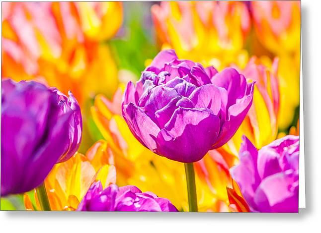Tulips Enchanting 06 Greeting Card by Alexander Senin