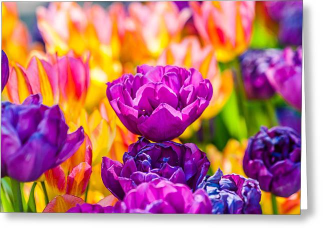 Flower Blossom Greeting Cards - Tulips Enchanting 08 Greeting Card by Alexander Senin