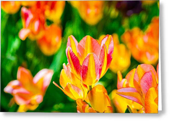 Flower Blossom Greeting Cards - Tulips Enchanting 18 Greeting Card by Alexander Senin