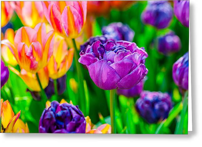 Scenic Greeting Cards - Tulips Enchanting 27 Greeting Card by Alexander Senin