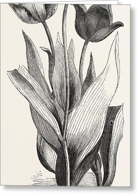 Tulips Greeting Card by English School