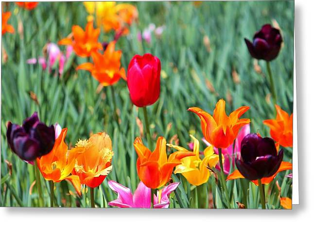 Spring Bulbs Greeting Cards - Tulips For Spring Greeting Card by Cynthia Guinn