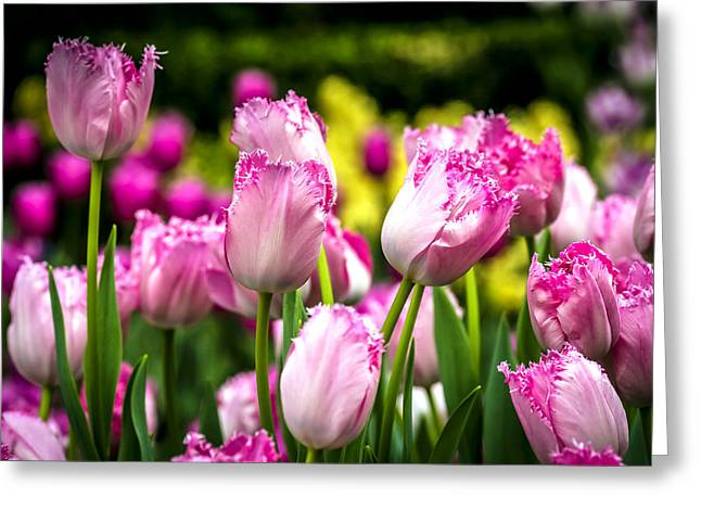 Patch Greeting Cards - Tulips Garden 3 Greeting Card by Jijo George