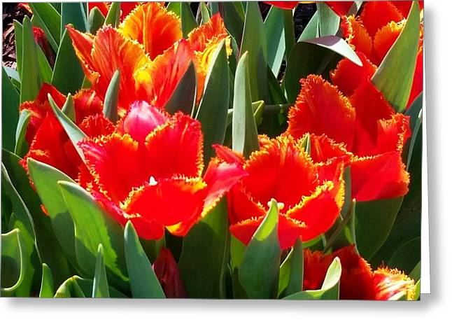 Dallas Pyrography Greeting Cards - Tulips Greeting Card by Gerda Reed