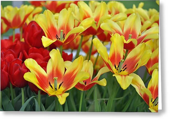 Tulip Tree Greeting Cards - Tulips Glorious Tulip Monsella Greeting Card by Debra  Miller