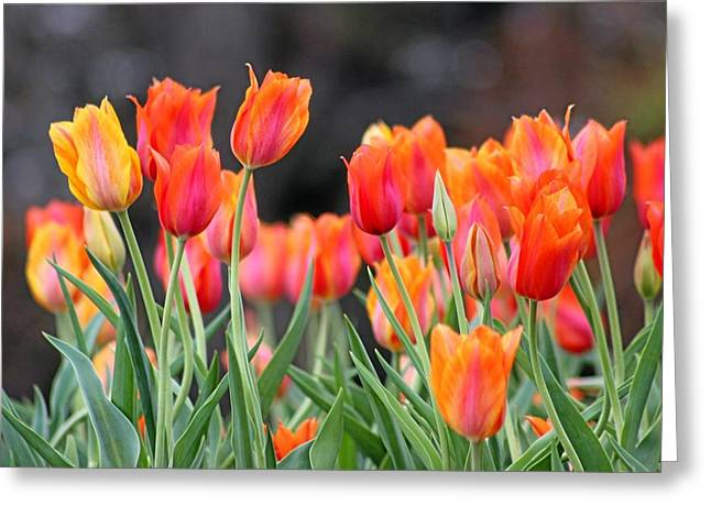 Cheekwood Gardens Greeting Cards - Tulips in the Breeze Greeting Card by Gayle Miller