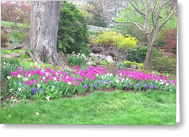 Cheekwood Gardens Greeting Cards - Tulips in the garden  Greeting Card by Gayle Miller