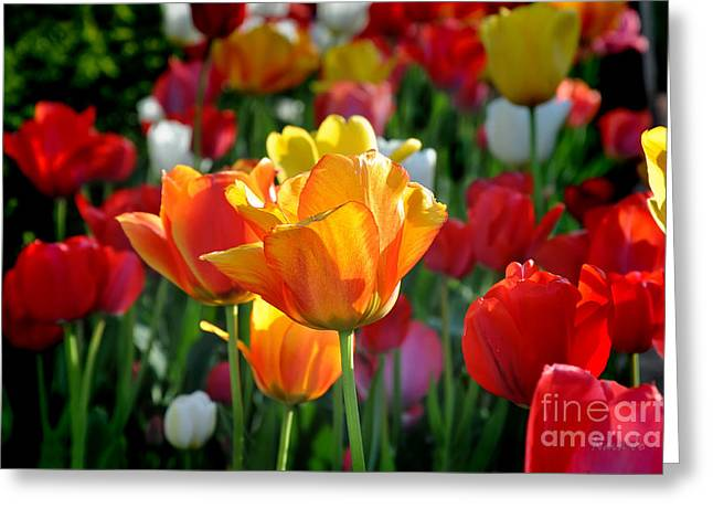 Arkansas Greeting Cards - Tulips In The Spring Greeting Card by Nava  Thompson