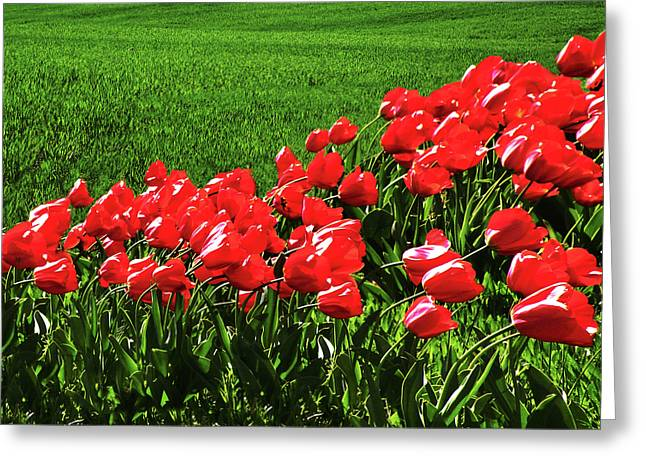 Tulips In The Wind Greeting Card by Steven  Michael