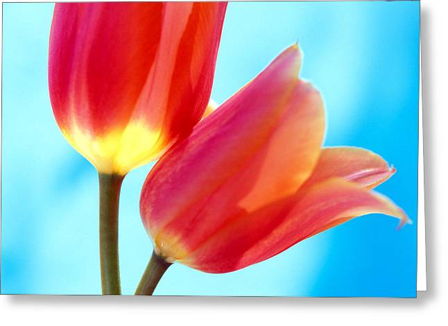 Pink Flower Prints Greeting Cards - Tulips on Blue 2 Greeting Card by Kathy Yates