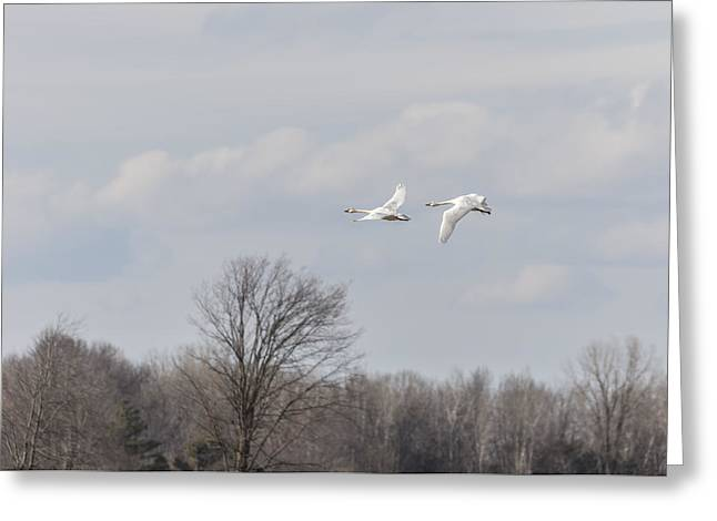Flying Swan Greeting Cards - Tundra Swans 1-2015 Greeting Card by Thomas Young