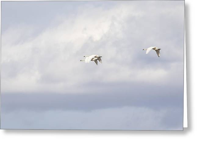 Flying Swan Greeting Cards - Tundra Swans 2-2015 Greeting Card by Thomas Young