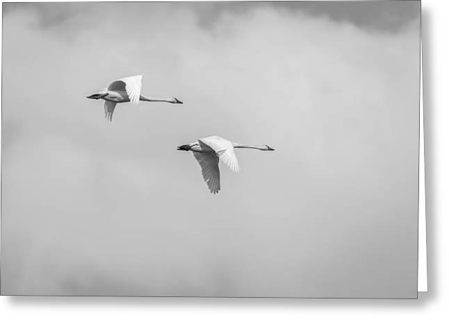 Flying Swan Greeting Cards - Tundra Swans 3-2015 Greeting Card by Thomas Young