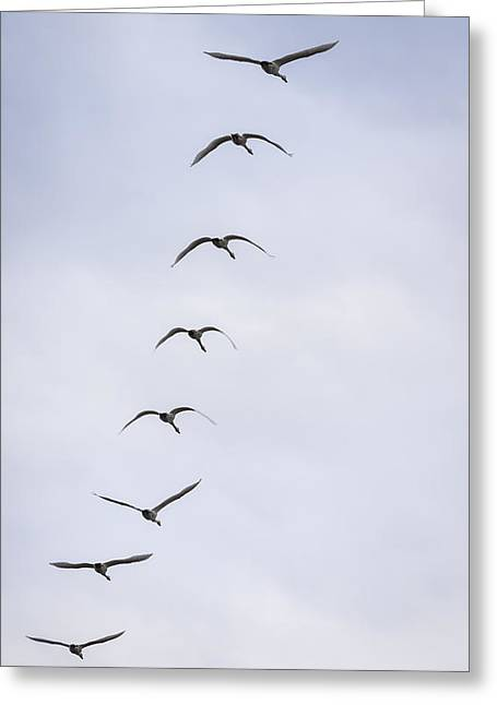 Tundra Swans 5-2015 Greeting Card by Thomas Young