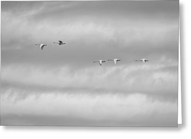 Flying Swan Greeting Cards - Tundra Swans Flying Above Greeting Card by Thomas Young