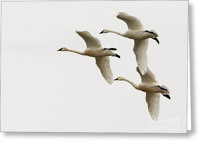 Tundra Swans In Flight 1 Greeting Card by Bob Christopher