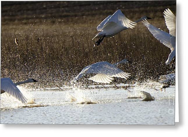 Tundra Swans Take Off 2 Greeting Card by Bob Christopher
