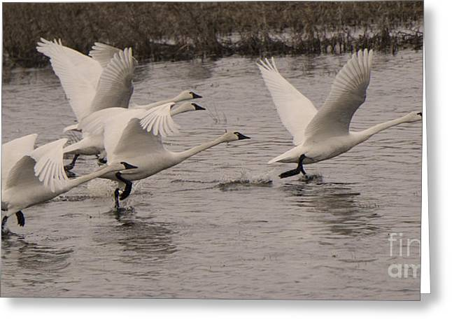 Tundra Swans Take Off Greeting Card by Bob Christopher