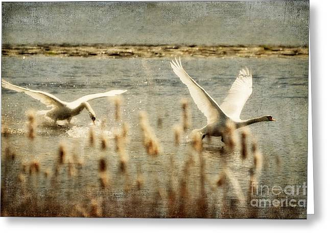Flying Swan Greeting Cards - Turf Wars Greeting Card by Lois Bryan
