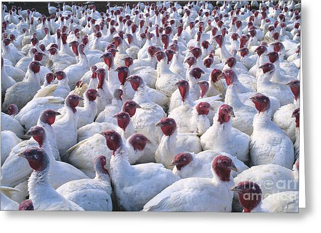 Meleagris Gallopavo Greeting Cards - Turkey Flock Greeting Card by Inga Spence