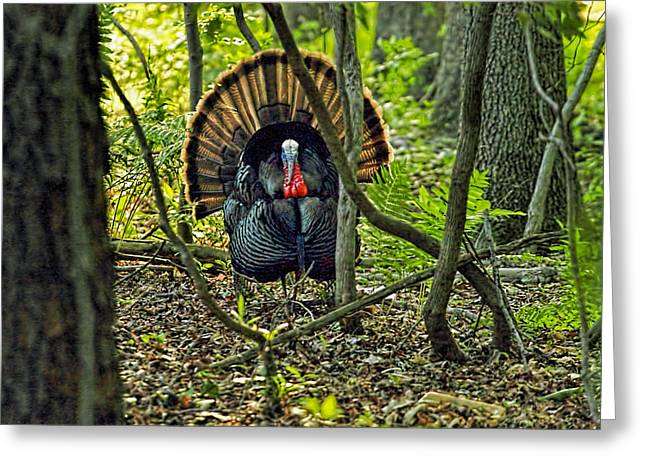 Barn Yard Greeting Cards - Turkey in woods with rim lighting from sunset Greeting Card by Geraldine Scull