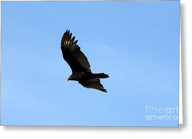 Florida Wild Turkey Greeting Cards - Turkey Vulture Greeting Card by David Lee Thompson